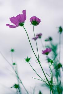 コスモスと曇り空の写真素材 [FYI00127916]