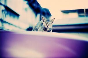 ボンネットの上の猫の写真素材 [FYI00127963]