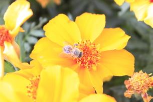 蜂の写真素材 [FYI00128072]