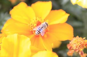 ミツバチの写真素材 [FYI00128083]