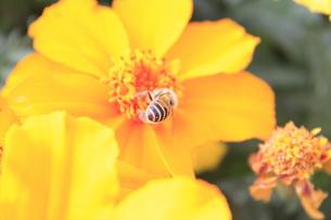 蜂の写真素材 [FYI00128084]