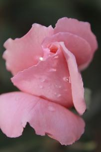 ピンクのバラの写真素材 [FYI00128085]