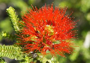 Red wild flower.の写真素材 [FYI00128112]