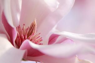 モクレンの花の写真素材 [FYI00128120]