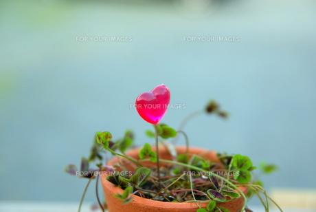 ハートと植木鉢の写真素材 [FYI00128135]