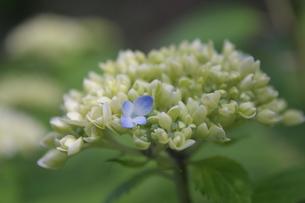 紫陽花咲くよの写真素材 [FYI00128314]
