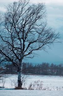 雪原と白樺の素材 [FYI00128375]