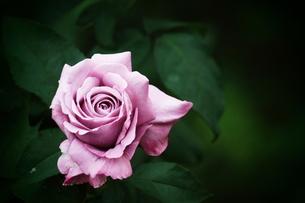紫のバラの素材 [FYI00128382]