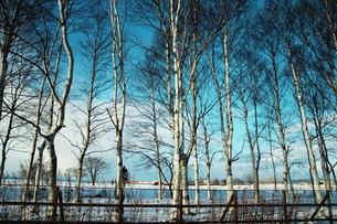 冬の白樺林の素材 [FYI00128398]