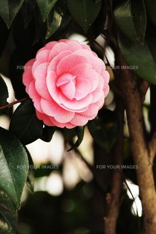 ピンクの椿の素材 [FYI00128420]