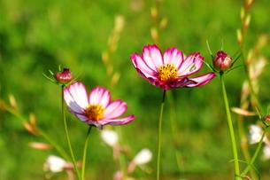 咲き始めのコスモスの写真素材 [FYI00128425]