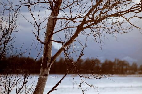 冬の北海道の白樺と草原の素材 [FYI00128444]