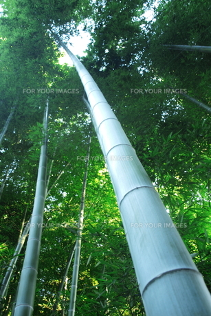 竹林の素材 [FYI00128461]