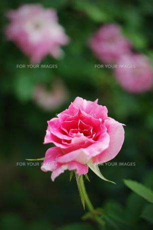 ピンクのミニ薔薇の素材 [FYI00128466]