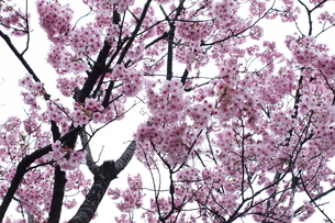 桜の素材 [FYI00128473]