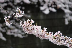 ソメイヨシノの素材 [FYI00128494]