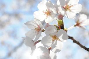 春風に満開の笑顔の様に輝く桜の写真素材 [FYI00128544]