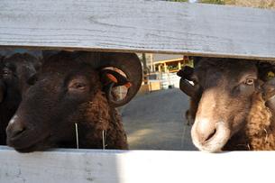 羊たちの目線の先にの写真素材 [FYI00128555]