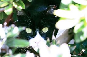 茂みの中の猫の写真素材 [FYI00128565]