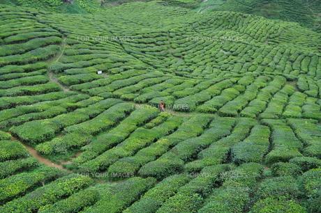 山肌に広がる広大な茶畑のある風景の写真素材 [FYI00128566]