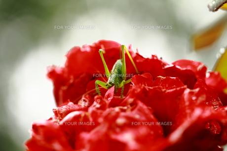 花とキリギリスの写真素材 [FYI00128580]