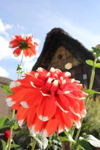 ダリアと茅葺屋根の写真素材 [FYI00128661]