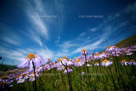 青い空の下に咲いている花の素材 [FYI00128888]