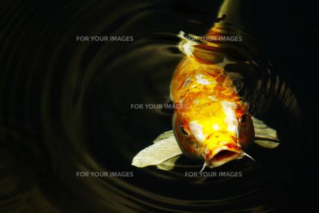 鯉の写真素材 [FYI00128906]
