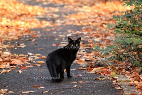黒猫2の写真素材 [FYI00128920]