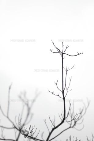 枝のシルエットの素材 [FYI00128925]