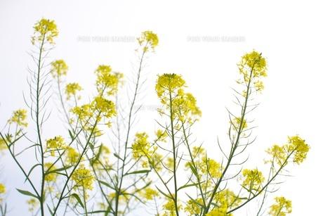 菜の花の素材 [FYI00128931]