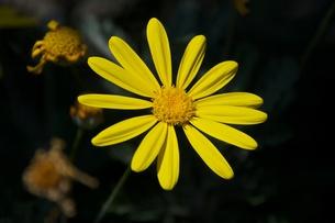 黄色い花の写真素材 [FYI00128938]