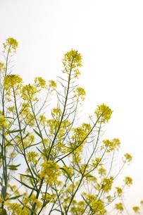 菜の花の素材 [FYI00128943]