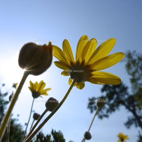 黄色い花 ローアングルの素材 [FYI00128959]