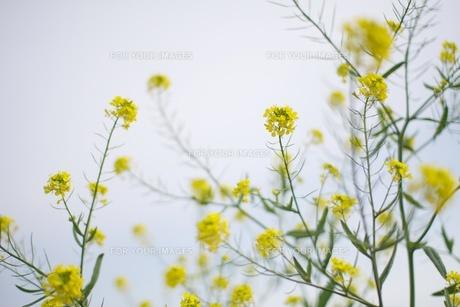 菜の花の素材 [FYI00128968]