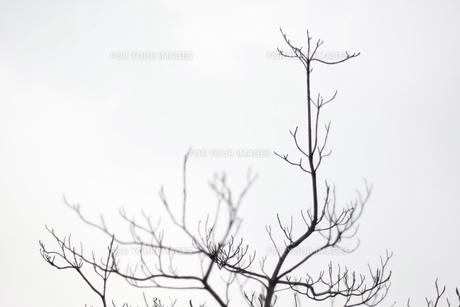 枝のシルエットの素材 [FYI00128973]