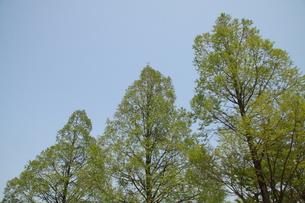 三本の木の写真素材 [FYI00131212]