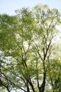 緑の葉から漏れる光の写真素材 [FYI00131229]