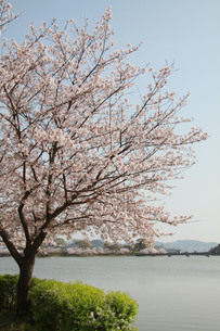 水辺の桜の写真素材 [FYI00131240]
