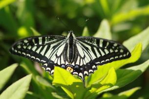休憩する蝶の写真素材 [FYI00131245]