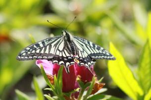 蜜を吸う蝶の写真素材 [FYI00131248]