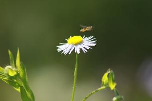 ハチのテイクオフの写真素材 [FYI00131251]