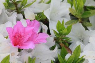 ピンクの花の写真素材 [FYI00131256]