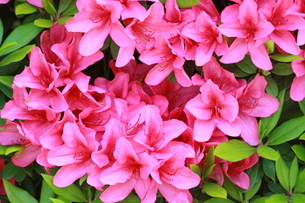 ピンクの花の写真素材 [FYI00131260]