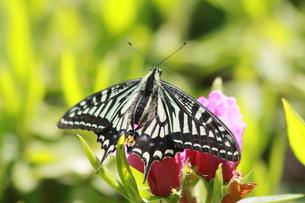 蜜を吸う蝶の素材 [FYI00131264]