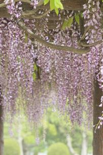 藤の花の写真素材 [FYI00131267]
