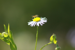 働き蜂の写真素材 [FYI00131270]
