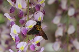 藤と蜂の写真素材 [FYI00131273]