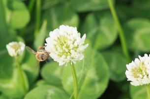 蜜を集める蜂の写真素材 [FYI00131275]