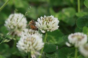 蜜を集める蜂の写真素材 [FYI00131276]